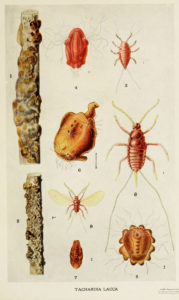 Life Cycles of Lac Insects